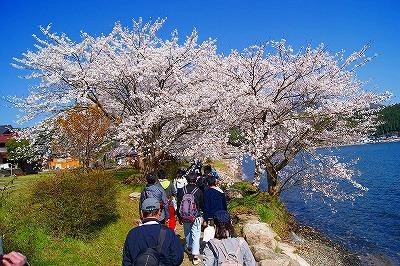 walking_sakura_1.jpg