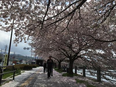 sakurawalking6.jpg