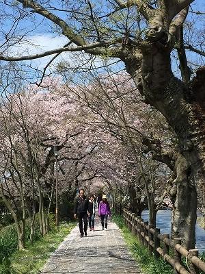 sakurawalking7.jpg